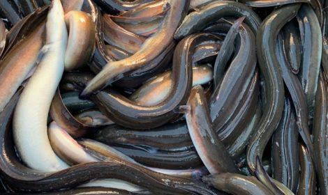 Passie voor paling